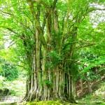 NMAX125 トトロが住んでそうな神秘的な巨木!!糸井の大カツラと但馬牛の絶品もみじバーガーツーリングin兵庫県朝来市
