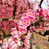 NMAX125 1万本の梅が咲く月ヶ瀬梅園へ梅見ツーリングin奈良県奈良市